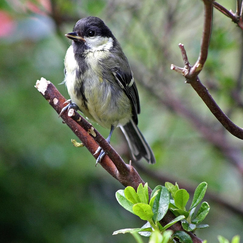 Great young tit