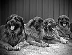 German Lion Dogs