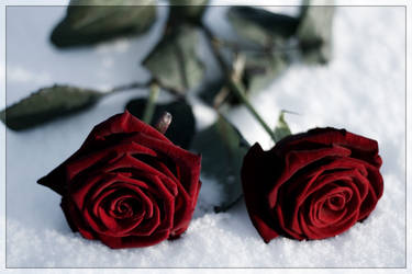A rose in the snow 2.0 by CeeJa