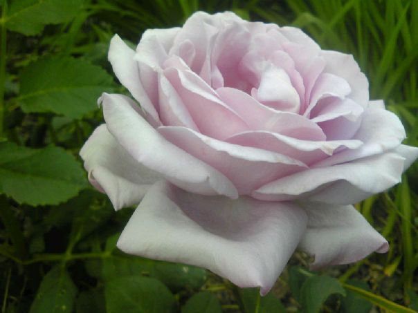 Light Purple Rose Wallpaper Light Purple Rose by