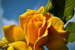 Yellow Rosy