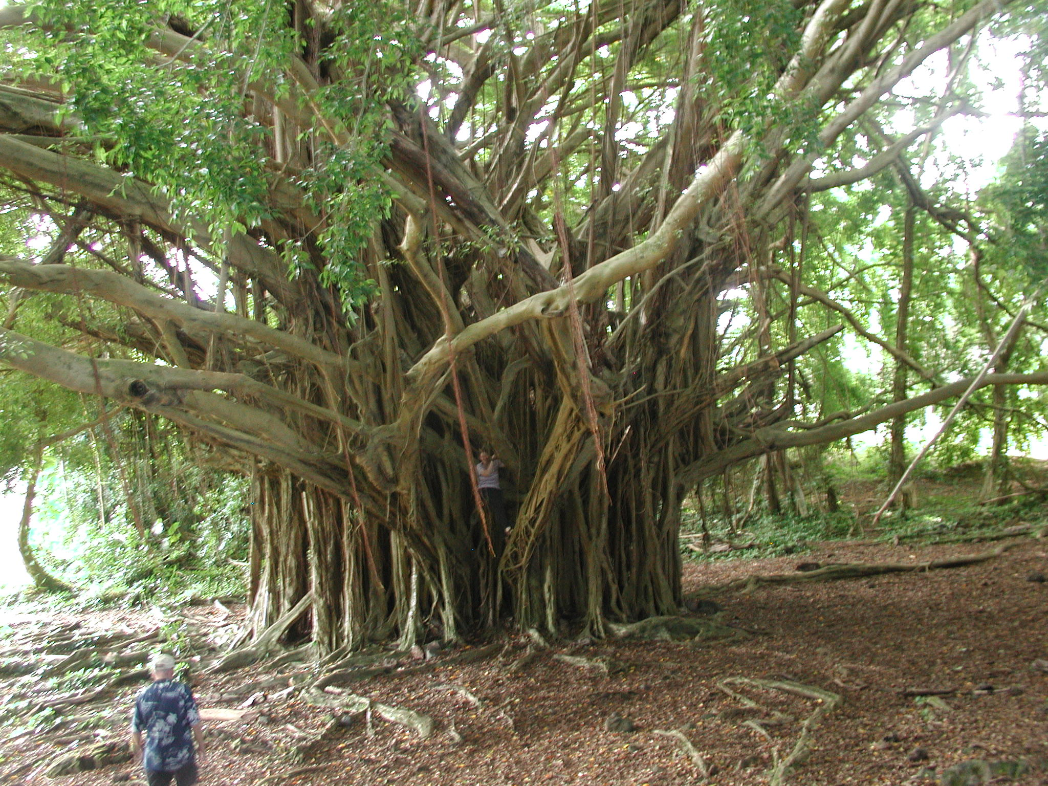 Banyan tree by kamiiyu on DeviantArt