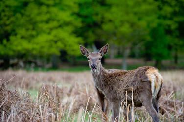 Deer in its home