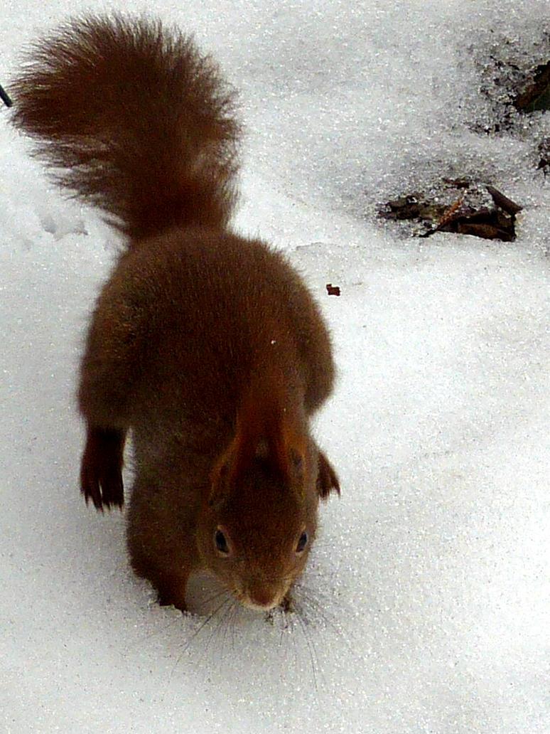 Squirrel 15 by Cundrie-la-Surziere