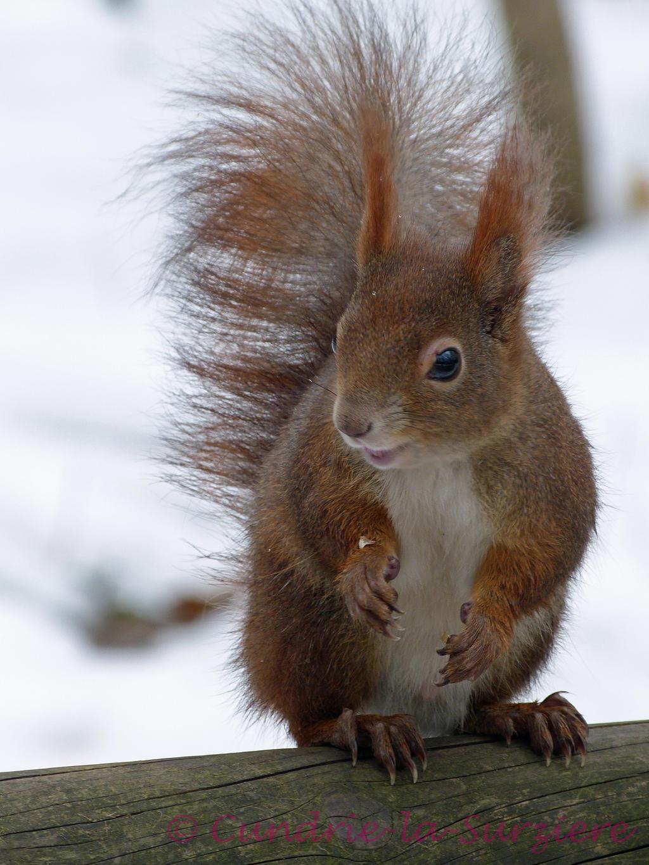 Squirrel 21 by Cundrie-la-Surziere