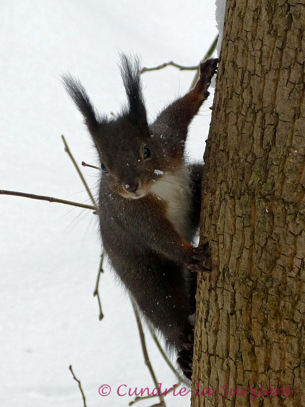 Squirrel 23 by Cundrie-la-Surziere