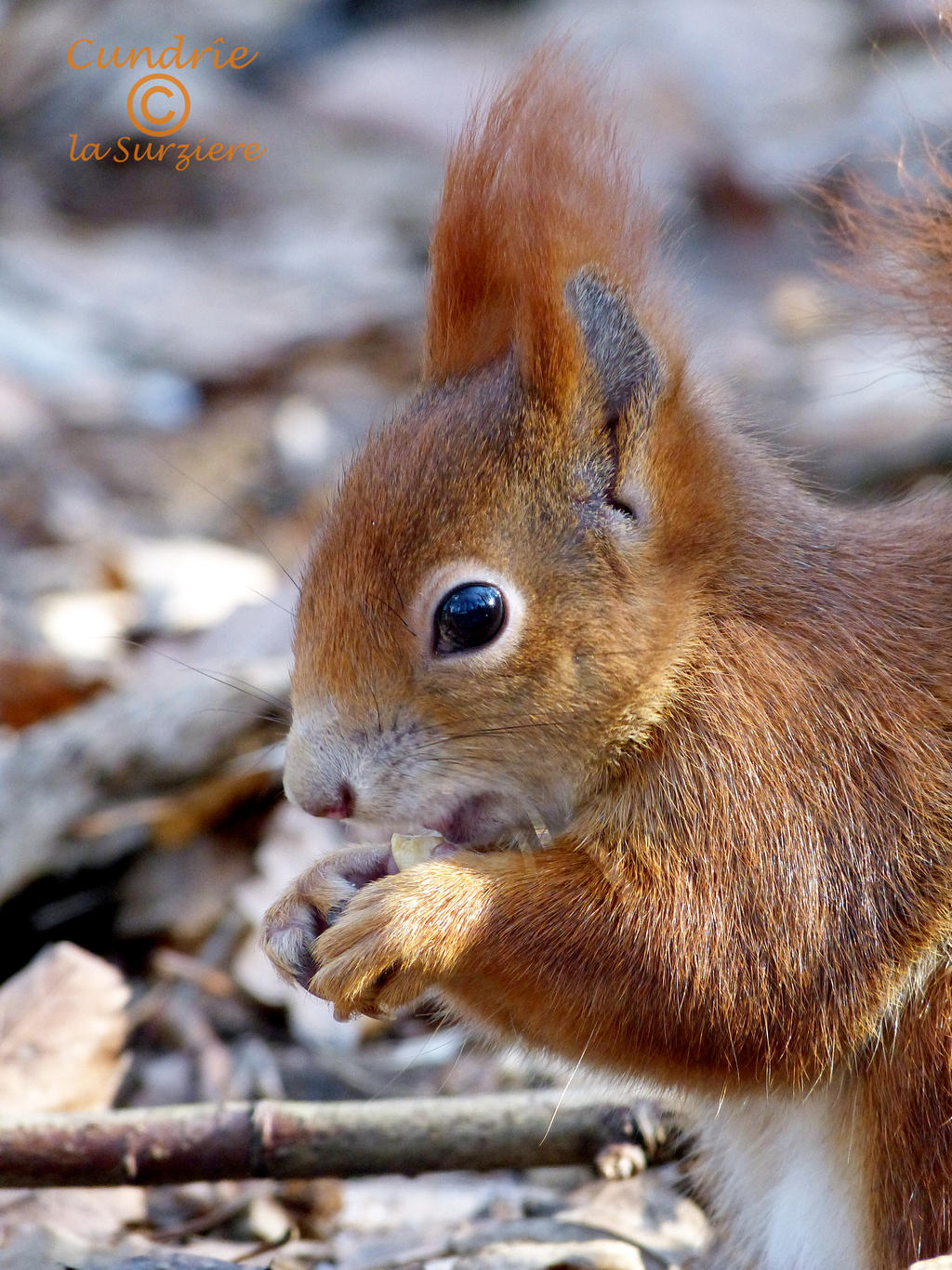 Squirrel 93 by Cundrie-la-Surziere