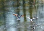 Moewen - Seagulls