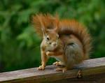 Squirrel 238