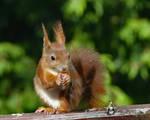 Squirrel 241