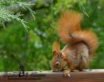 Squirrel 245
