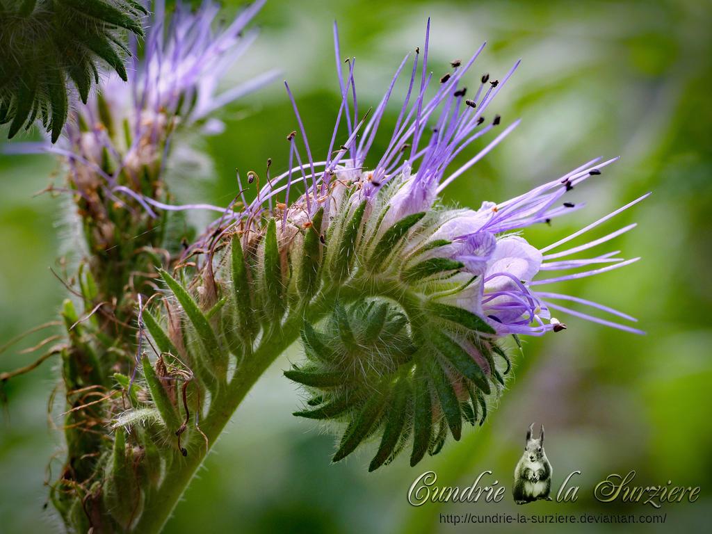 Rainfarn-Phazelie by Cundrie-la-Surziere