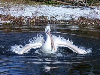 Pelican 2 - Stock by Cundrie-la-Surziere