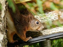 Squirrel 272