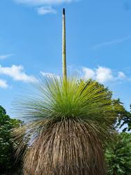 Grasbaum - Xanthorrhoea in Bloom