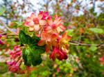 Redflower Currant by Cundrie-la-Surziere