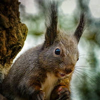 Squirrel 276 by Cundrie-la-Surziere