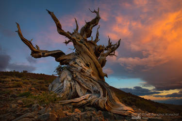 Legendary  Tree