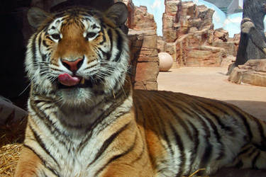 I'm a Tiger and I Want to Eat You by CRG-Free