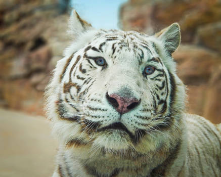 Eye to Eye With the Tiger