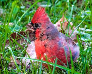 Northern Cardinal by CRG-Free