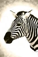 Zebra by realitysquared