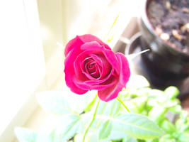 Pin Rose by bafel