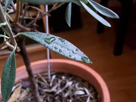 Olive tree by bafel