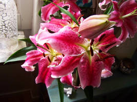 pink blossomed lily by bafel