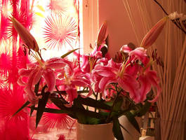 full of pink lily's by bafel