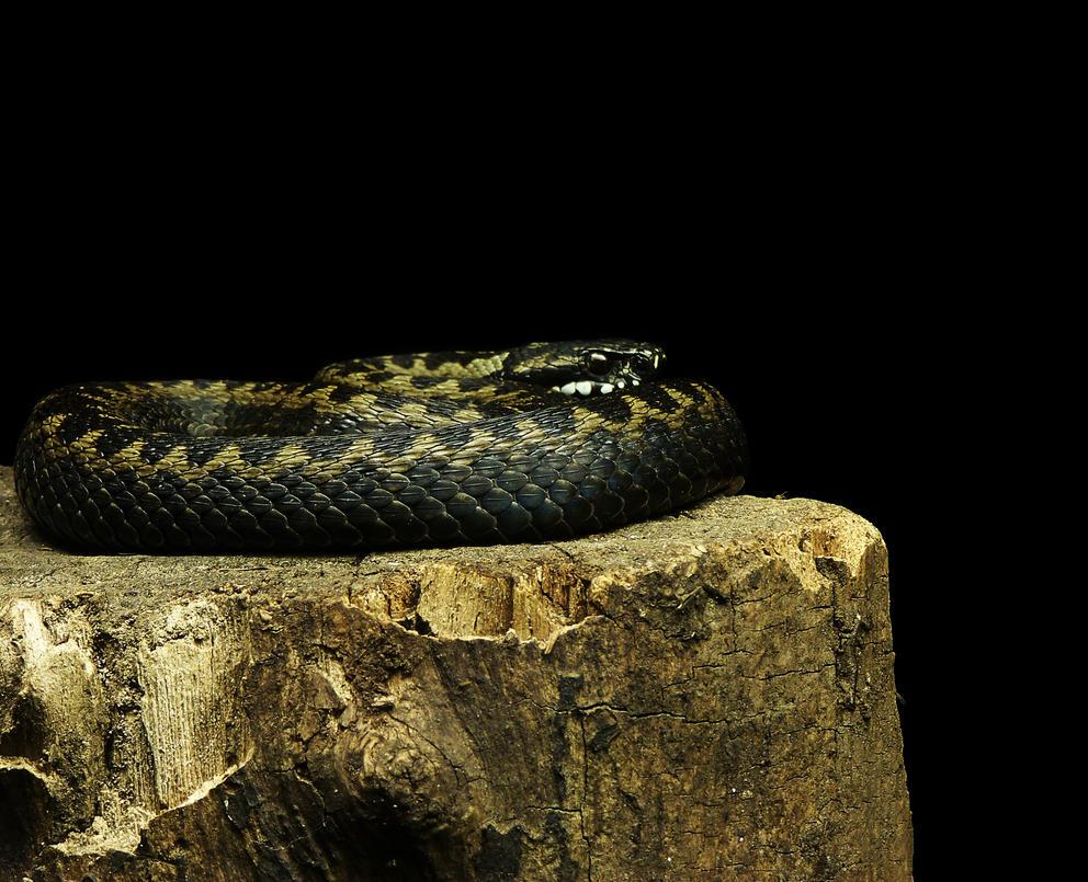 Viper on log by bafel