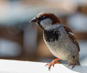 Sparrow by Poulus1967