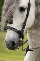 Andalusian Stallion in detail by DenisaKc