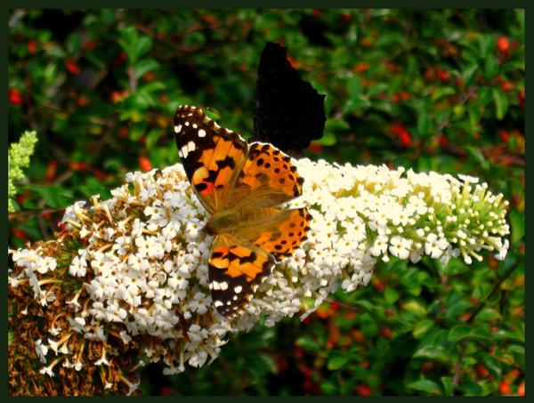 Butterfly by HakuGen