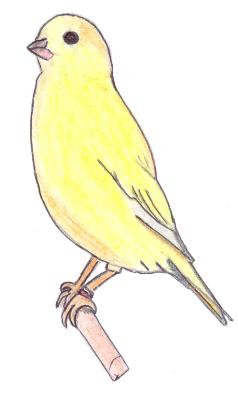 Canary Drawing By Xbertyx On DeviantArt