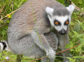 Ring-tailed Lemur by Skrillexia-TF