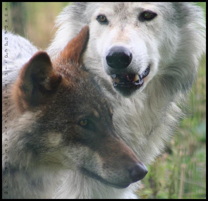 http://fc02.deviantart.net/fs31/f/2008/207/9/4/Wolves_by_Suspended_in_time.jpg