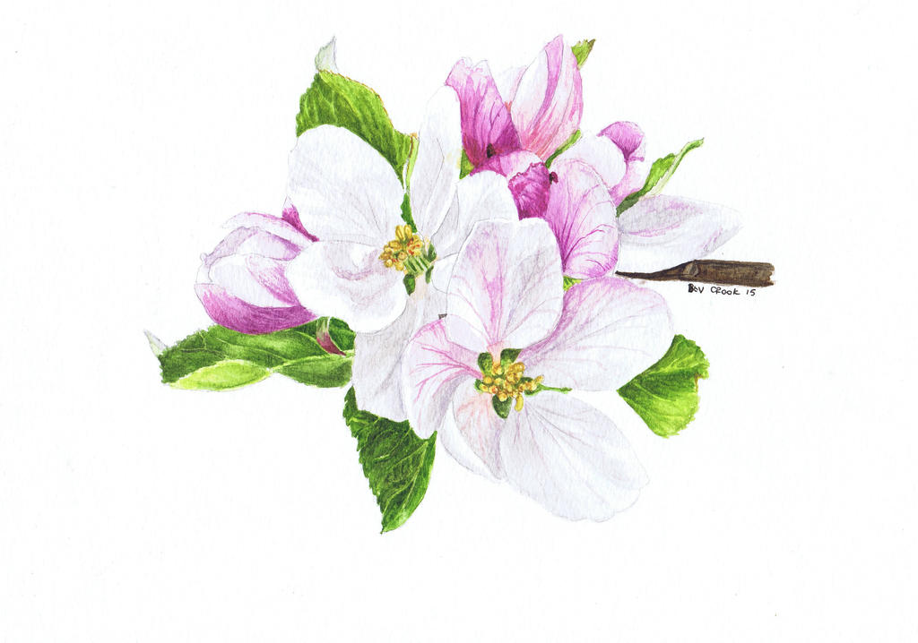 Apple blossom by alter-ipse-amicus