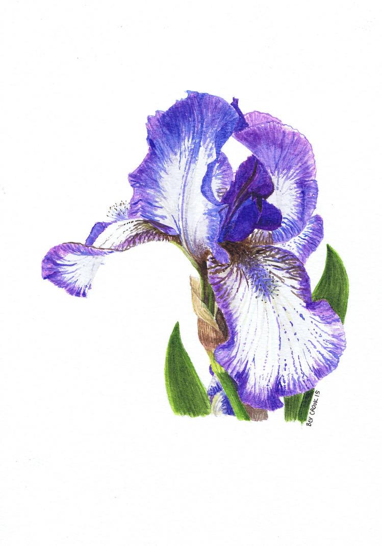 Bearded Iris by alter-ipse-amicus