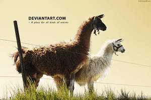 Llama by D-BH