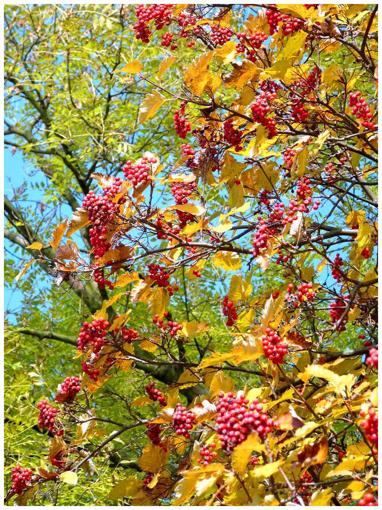 autumn berries...---... by burcyna