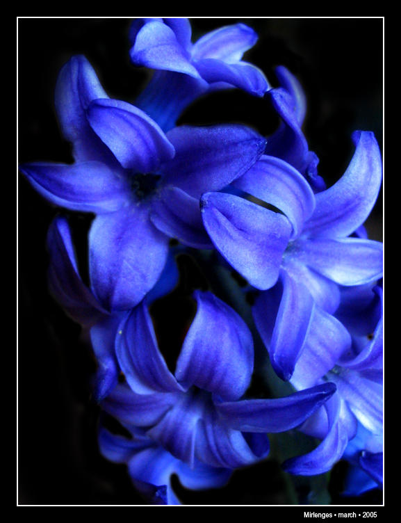 blue flower by mirlenges on deviantart, Beautiful flower