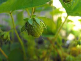 Green Strawberry...