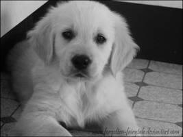 Golden Retriever puppy 2 by Forgotten-Fairytale