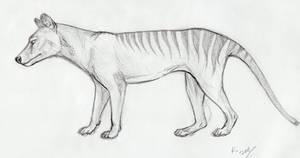 thylacine sketch