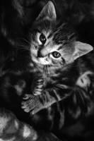 kitten by sayra