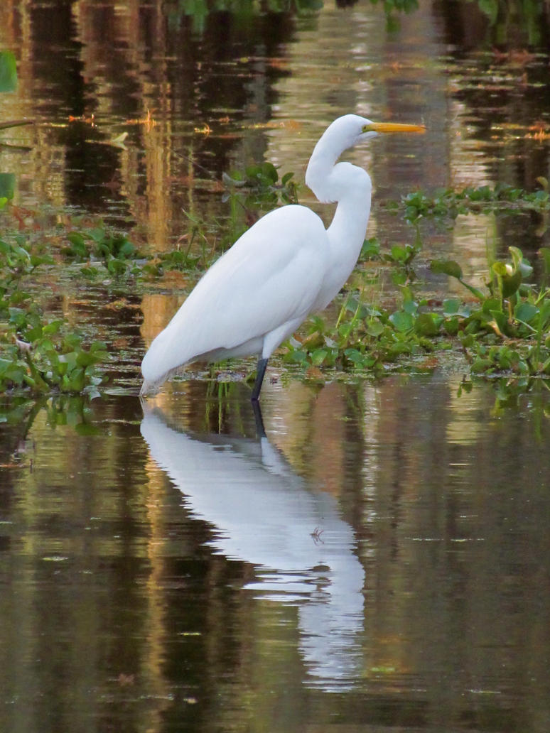White crane bird - photo#25