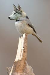 Wolfird