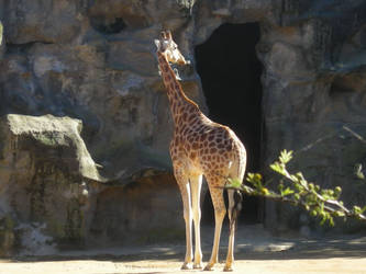 Giraffe II by ElvenSheepStock