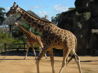 Giraffe IV by ElvenSheepStock